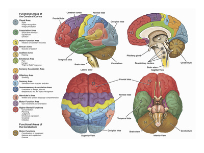 Brain from Four Different Views Using Color-Coding to Show the Anatomy and Functional Areas Giclee Print by  Nucleus Medical Art