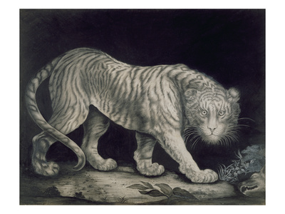 A Prowling Tiger (Pencil on Paper) Premium Giclee Print by Elizabeth Pringle