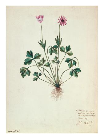 Fol.1275 Geranium (W/C on Paper) Premium Giclee Print by  French