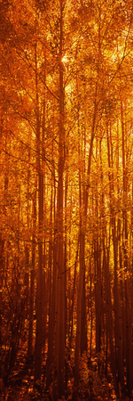 Aspen Trees at Sunrise in Autumn, Colorado, USA Photographic Print by  Panoramic Images