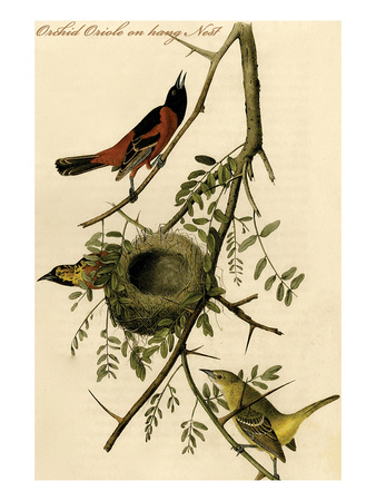 Orchid Oriole on Hang Nest Posters by John James Audubon