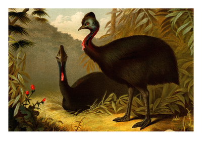 Cassowaries Posters by F.W. Kuhnert