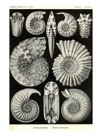 Ammonites Posters by Ernst Haeckel