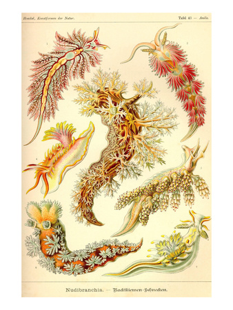 Nudibranch Gastropod Mollusks Prints by Ernst Haeckel