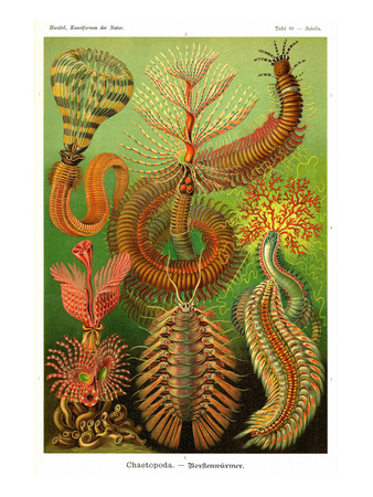 Worms Prints by Ernst Haeckel