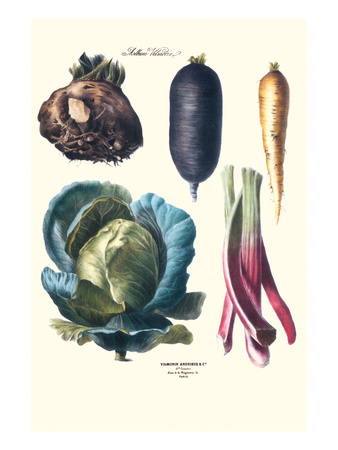Vegetables; Rhubard, Tubers, and Cabbage Posters by Philippe-Victoire Leveque de Vilmorin