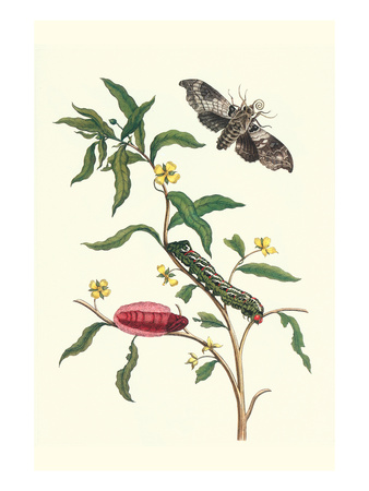 Primrose Willow or Water Purslane with a Banded Sphinx Prints by Maria Sibylla Merian