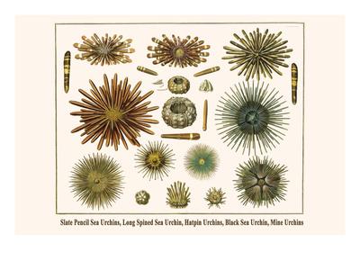 Slate Pencil Sea Urchins, Long Spined Sea Urchin, Hatpin Urchins, Black Sea Urchin, Mine Urchins Prints by Albertus Seba