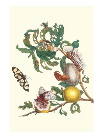 Fruiting Guava and Stinging Caterpillar Prints by Maria Sibylla Merian