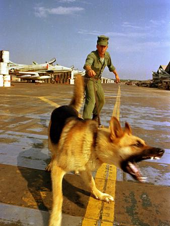 Vietnam War U.S.A.F. Guard Dog Photographic Print by  Associated Press