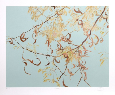 Acacia Collectable Print by Jon D'Orazio