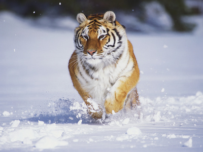 Tiger Running in Snow Photographic Print by Lynn M. Stone