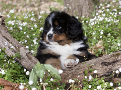 Burmese Mountain Dog Puppy in Wildflowers, Illinois Photographic Print by Lynn M. Stone