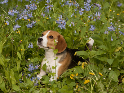 Beagle Hound Photographic Print by Lynn M. Stone