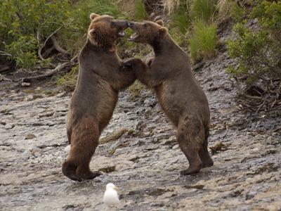 """Dancing"" Grizzly Bears, Alaska Photographic Print by Lynn M. Stone"
