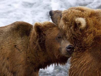Two Grizzly Bears Rubbing Heads, Alaska Photographic Print by Lynn M. Stone