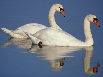 Mute Swans, Cygnus Olor, Netherlands Photographic Print by Frans Lanting