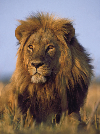 Lion, Panthera Leo, Chobe National Park, Botswana Fotografisk tryk af Frans Lanting