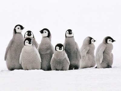 Emperor Penguin Chicks, Aptenodytes Forsteri, Weddell Sea, Antarctica Photographic Print by Frans Lanting