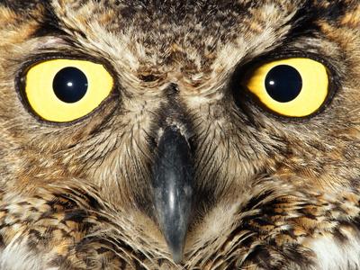 Great Horned Owl, Bubo Virginianus, Monterey Bay, California Stampa fotografica di Frans Lanting