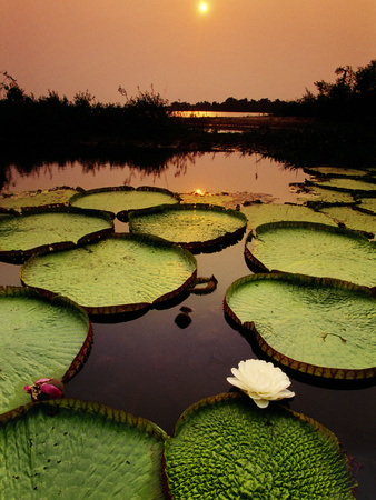 Giant Water Lilies at Sunset, Victoria Regia, Paraguay River, Pantanal, Brazil Photographic Print by Frans Lanting