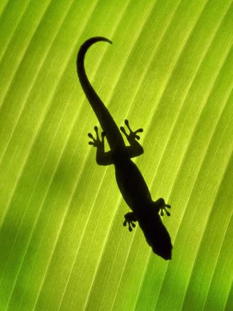 Madagascar Day Gecko on Palm Leaf, Phelsuma Madagascariensis, Masoala Nat'l Park, East Madagascar Photographic Print by Frans Lanting