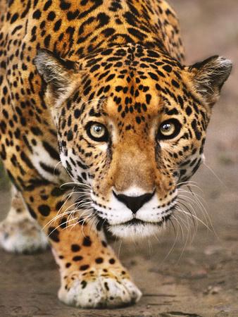Jaguar Stalking, Panthera Onca, Belize Photographic Print by Frans Lanting