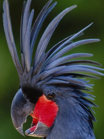 Black Palm Cockatoo, Probosciger Aterrimus Goliath, Native to New Guinea Photographic Print by Frans Lanting