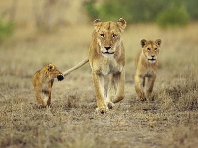 Cub Holding onto Lioness Tail, Panthera Leo, Masai Mara Reserve, Kenya Photographic Print by Frans Lanting