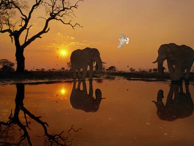 African Elephants, Loxodonta Africana, and Dove at Waterhole, Chobe National Park, Botswana Fotografisk tryk af Frans Lanting