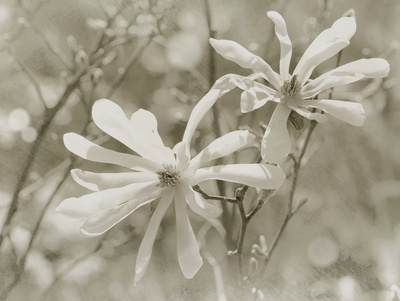Star Magnolias II Prints by Amy Melious
