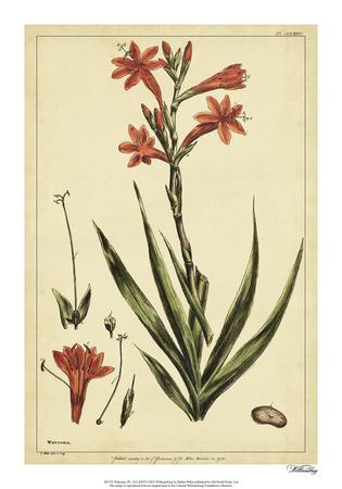 Watsonia, Pl. CCLXXVI Giclee Print by Phillip Miller