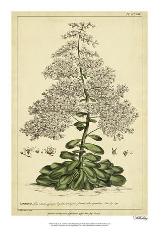 Saxifraga, Pl. CCXLIII Giclee Print by Phillip Miller