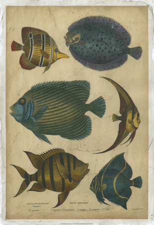 Goldsmith's Spinous Fishes Posters by  Goldsmith