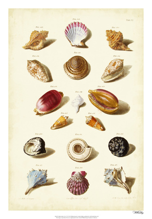 Muller Shells, Tab. VI Giclee Print by Gabriel Muller