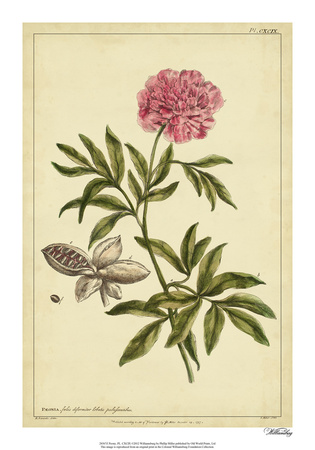 Peony, Pl. CXCIX Giclee Print by Phillip Miller