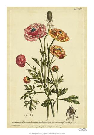 Ranunculus, Pl. CCXVI Giclee Print by Phillip Miller