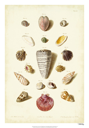 Muller Shells, Tab. III Giclee Print by Gabriel Muller