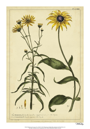 Rudbeckia and Coreopsis, Pl. CCXXIV Giclee Print by Phillip Miller