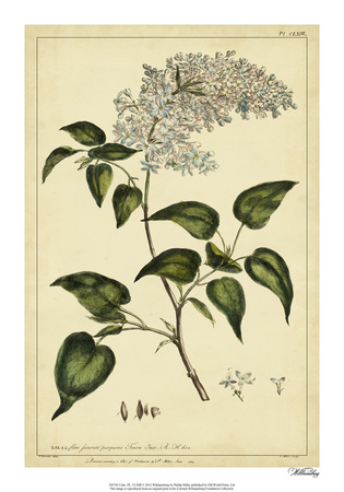 Lilac, Pl. CLXIII Giclee Print by Phillip Miller