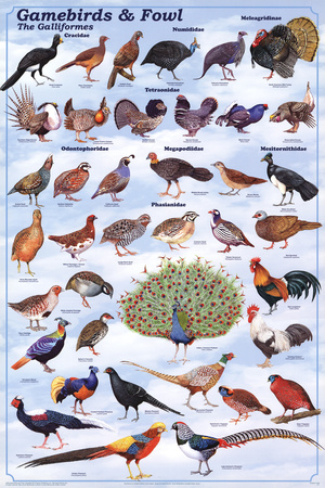 Gamebirds & Foul - The Galliformes Educational Poster Poster