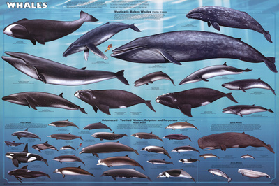Whales Educational Poster Planscher