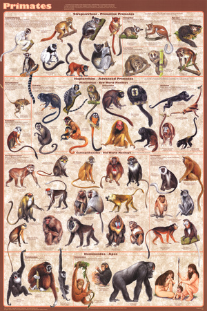 Primates Educational Poster Posters