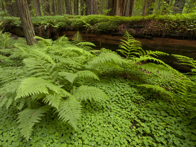 Forest Floor, Humboldt Redwood National Park, California, USA Photographic Print by Cathy & Gordon Illg