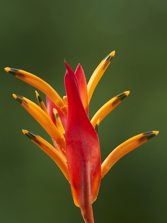 False Bird-Of-Paradise Flower (Heliconia Psittacorum), Nadi, Viti Levu, Fiji, South Pacific Photographic Print by David Wall