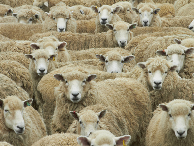 Mob of Sheep, Catlins, South Otago, South Island, New Zealand Photographic Print by David Wall