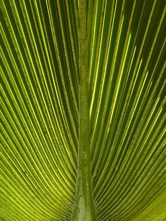Palm Frond, Nadi, Viti Levu, Fiji, South Pacific Photographic Print by David Wall