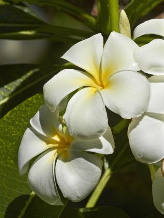 Frangipani Flowers (Plumeria), Nadi, Viti Levu, Fiji, South Pacific Photographic Print by David Wall