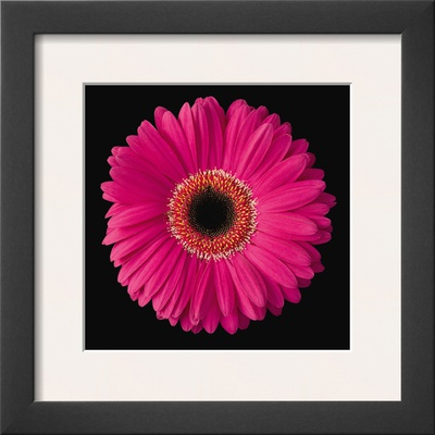 Gerbera Daisy Pink Prints by Jim Christensen