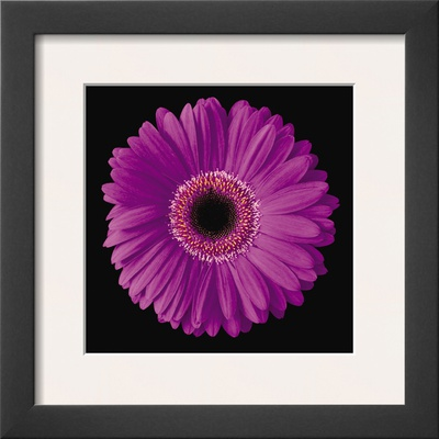 Gerbera Daisy Purple Posters by Jim Christensen